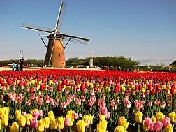Lễ Hội Hoa Tuylip Tại Hà Lan